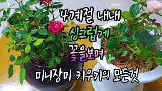 미니장미 4계절 내내 싱그럽게 이쁜꽃을 볼수있고 가정집에서도 잘키울수있는비법 5가지 💕💕💕Mini Rose