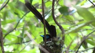 サンコウチョウ成鳥/Incubate of Japanese Paradise Flycatcher