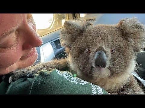 Australia Fires Helping Koalas In Need Youtube
