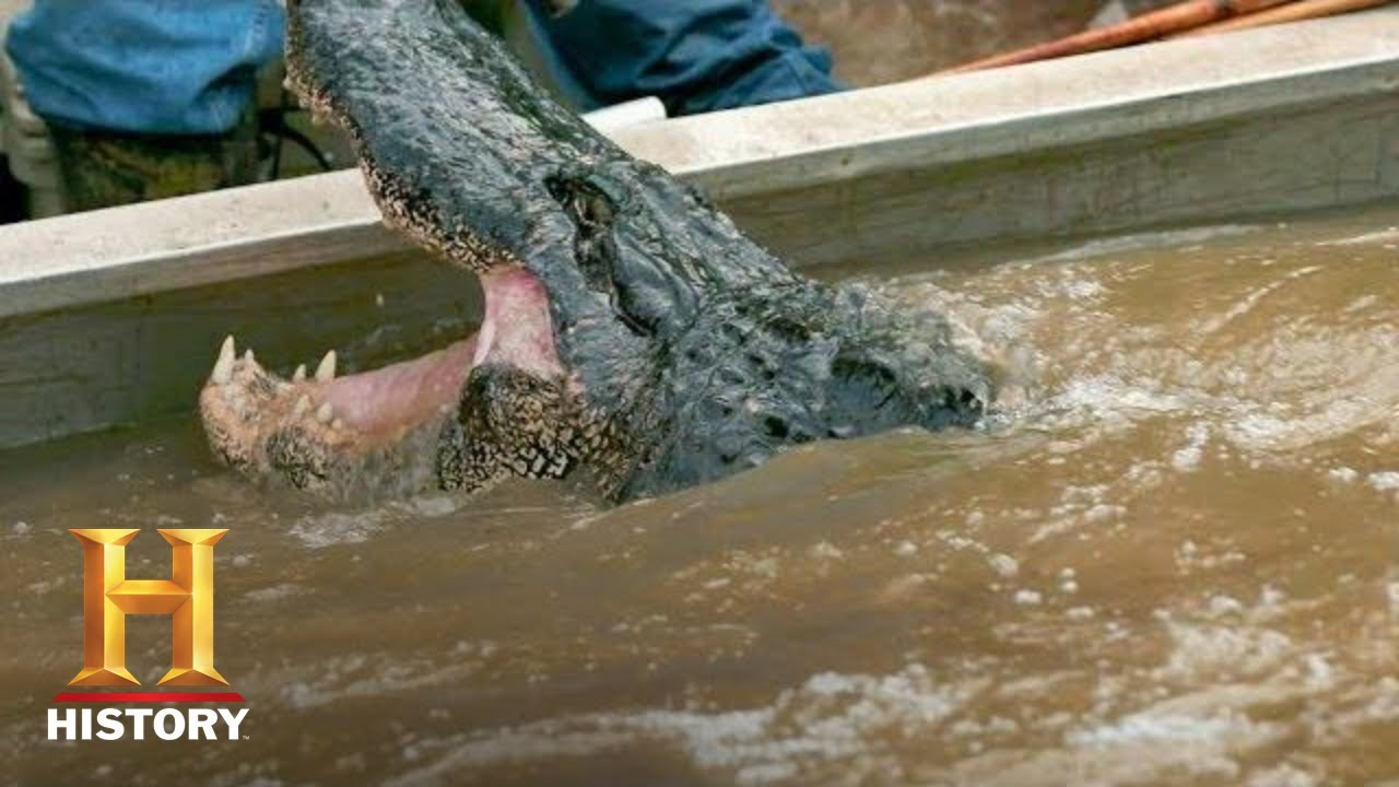 Download Swamp People: Troy's GIANT GATOR CATCH Ends the Hunt (Season 8) | History