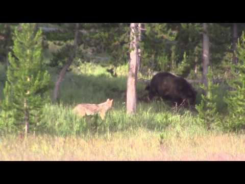 Bear, Coyote, Bear