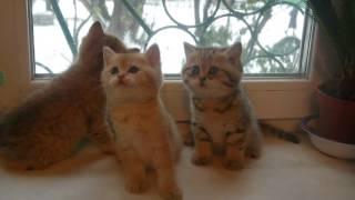 Котятки окраса золотая шиншилла