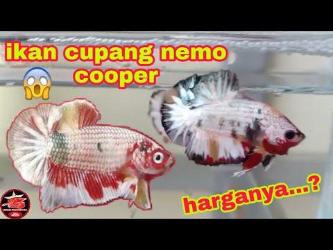 Ikan Cupang Yang Lagi Hits Nemo Cooper Cupang Nemo Cooper Youtube