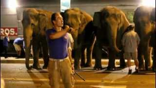 ELEPHANT WALK : JOE FRISCO RINGLING BROS. CIRCUS : AFTER THE SHOW THEY COME TO A HAULT BY BULL HOOKS