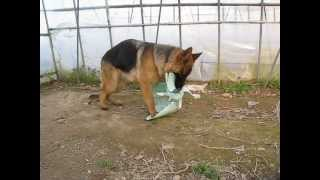 バケツを破壊して遊んでる愛犬「めい」