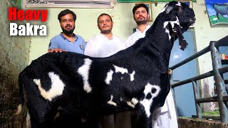 Pakistan's Biggest Goat Prepaired In Home