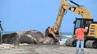 Raw Video: Workers cut up beached whale for disposal