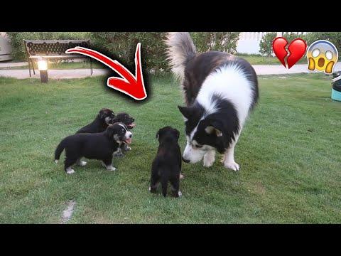 ردة فعل عيال لوسي يوم دخلت عليهم اذكى كلب !! انصدمت
