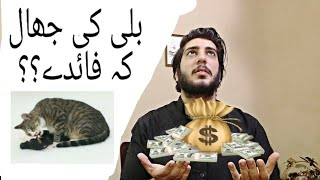 Billi Ki Jer K Faidy  Bili Ki Naal  Benefits Of Keeping A Cat At Home Billi Ki Jhal  Persian Cat