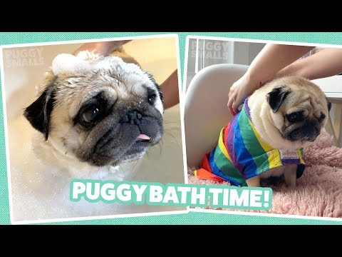 Pug In The Bath - Check Out His Dog Robe!