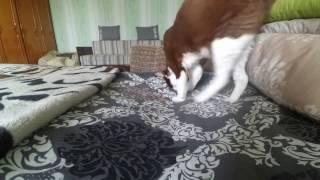 Девон рекс играет с косточкой