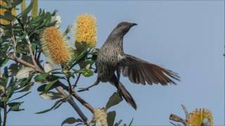 Some Australian Birds