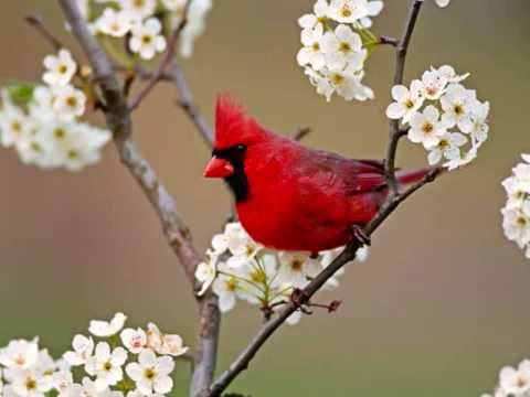 Cardinals Appear When Angels Are Near Youtube
