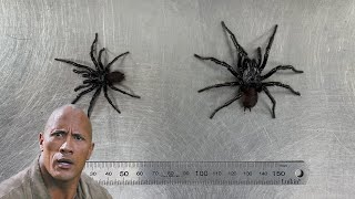 GIANT SPIDER NAMED AFTER A CELEBRITY! | The Australian Reptile Park