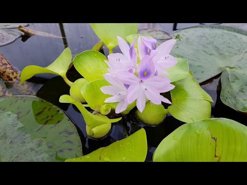 Водяной гиацинт или Эйхорния цветет!