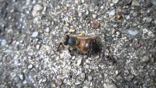 Ants dissecting bee carcass