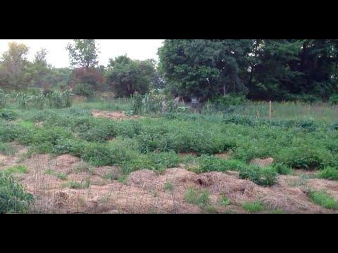 Deep mulch farming in historic drought