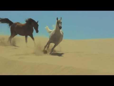 il cavallo arabo più bello del mondo thumbnail