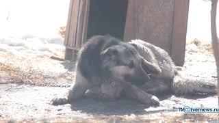 Собака борется с собственной лапой за мясо