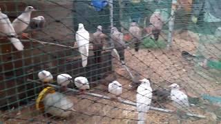 Kỹ thuật nuôi chim cu gáy đẻ thumbnail