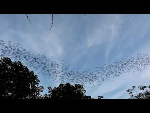 Bats at Khao Yai National Park, Thailand
