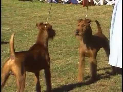 Irish Terrier - AKC Dog Breed Series