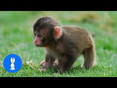 Monkey See Monkey Do! Ba Edition  Cutest Compilation
