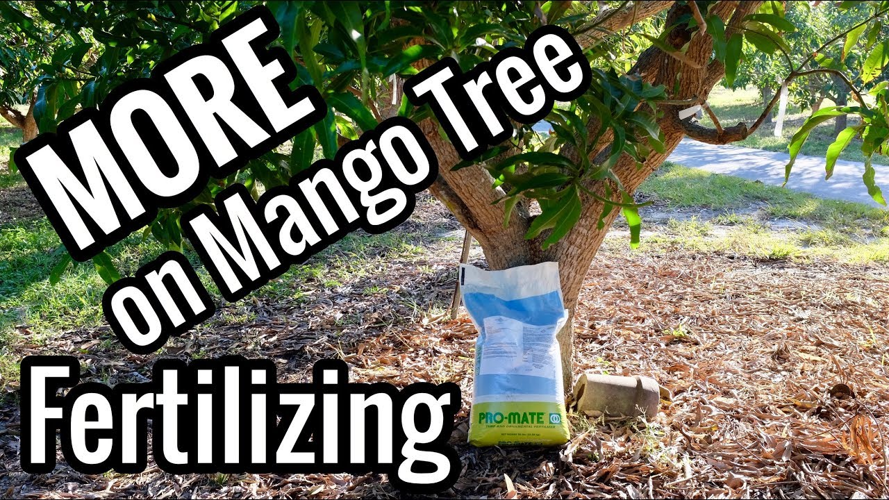 More On Mango Tree Fertilizing When To