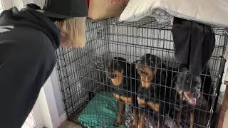 Rottweilers Show Kennel Aggression when I bring a stranger over..