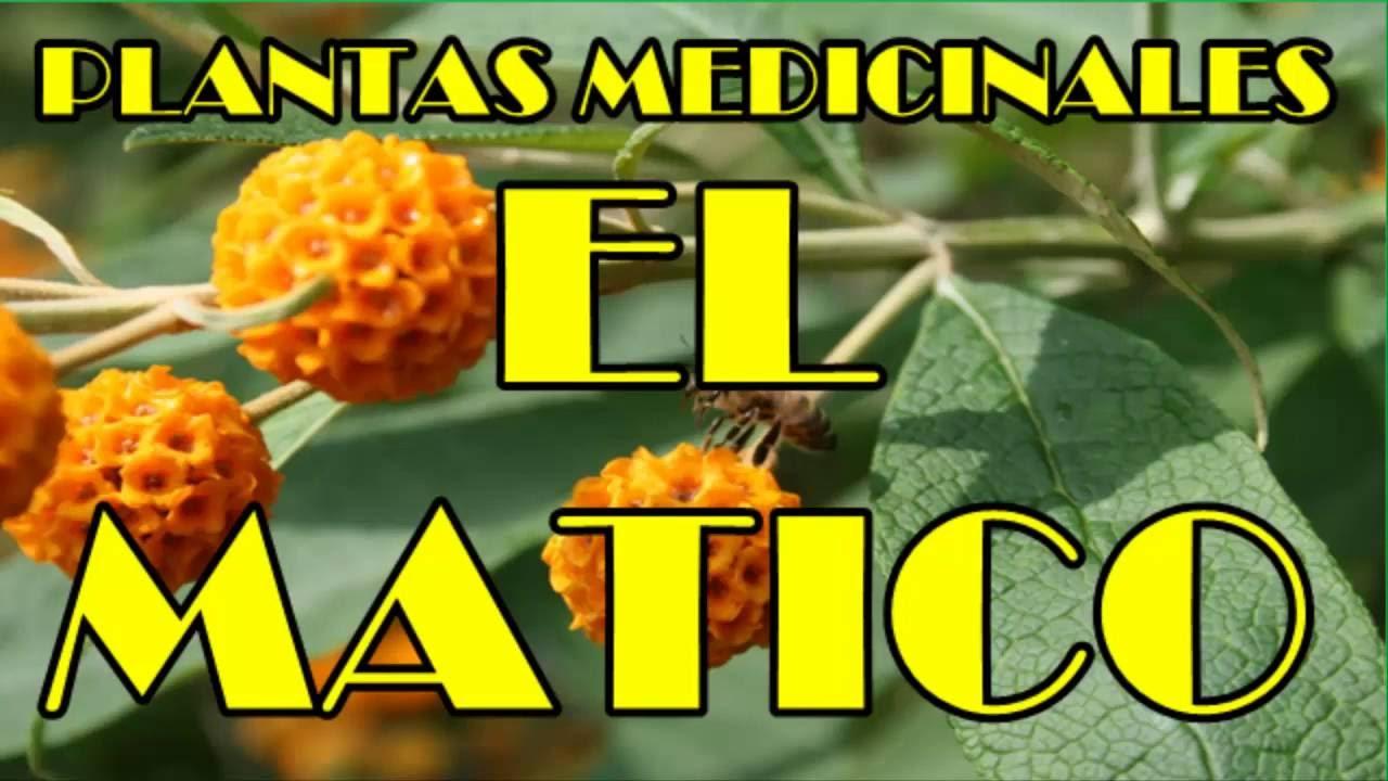 Matico propiedades medicinales usos del matico para tu for Planta decorativa propiedades medicinales