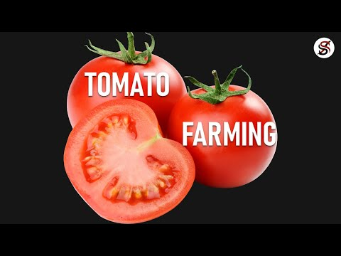 Tomato Farming in Nigeria & how to make money
