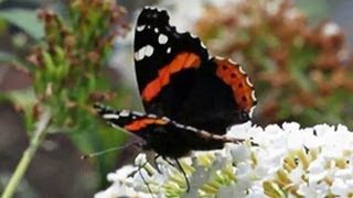 Red Admiral Nectaring Buddleja - September 14, 2013