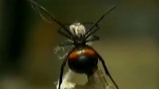 セアカゴケグモに咬まれたら1 ロシア、ウクライナ、カザフスタン thumbnail