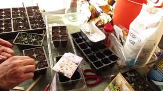 Garden Flowers: How to Seed Start Shasta Daisies Indoors: Perennial in Zones 5-9 - MFG 2014