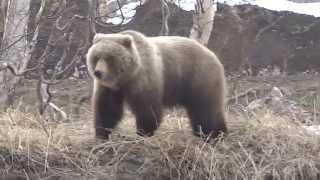 медведь и собака друзья. Камчатка,Россия ( bear and dog friends. Kamchatka, Russia )