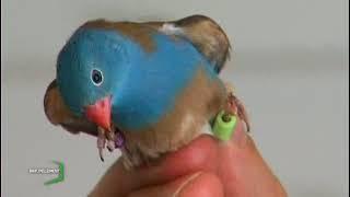 Passion : Elever des oiseaux exotiques