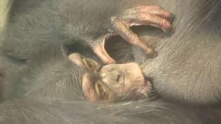 Download Video チンパンジー 双子の赤ちゃん114  Chimpanzee twin baby MP3 3GP MP4