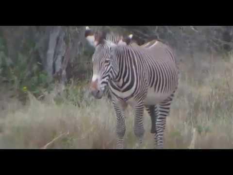 Столбняк у зебри
