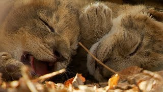 Lioness Cuddles Newborn Cubs | BBC Earth