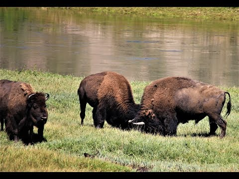 Bull Bison Battle TWICE.. 2nd fight gets serious! Yellowstone
