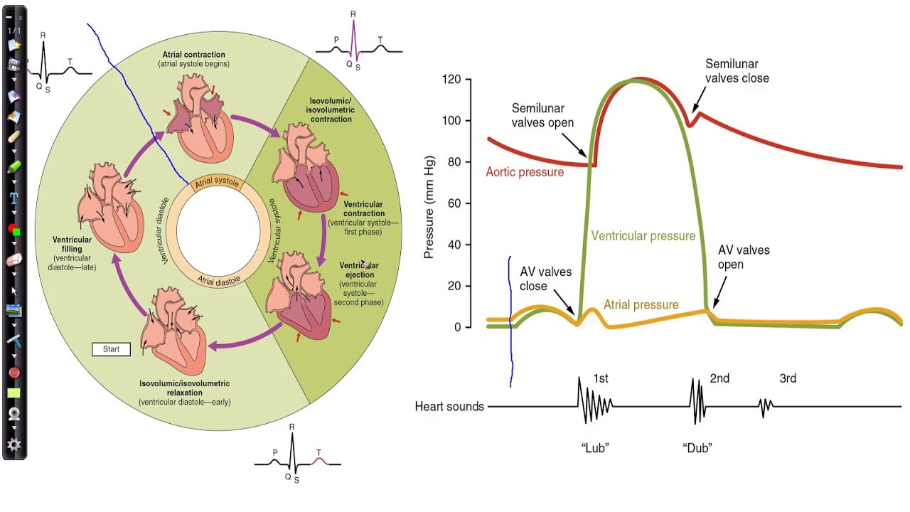Physiology Of The Heart  The Cardiac Cycle  U0026 Wiggers