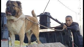 هكذا-يتم-تحميل-كلب-القوقازي-الضخم-بيل-عمر-سنتين-مع-جمال-العمواسي