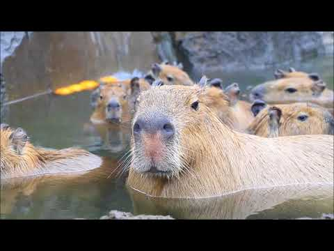 Japanese Zoo Wins at Social Distancing By Using Stuffed Capybaras