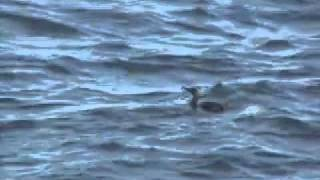 Cormorants: Birds That Swim