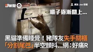 嘉義黑貓爬進抽屜櫃睡覺 虎斑貓失手關櫃慘夾夥伴尾巴!好痛R|寵物