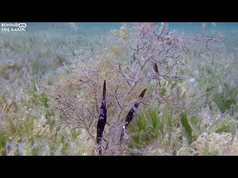 Robust Ghost Pipefish with Go Pro (Dahab - South Sinai - Egypt)