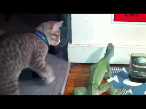 Thumbnail for Cat Video Kitty Lizard Chase!