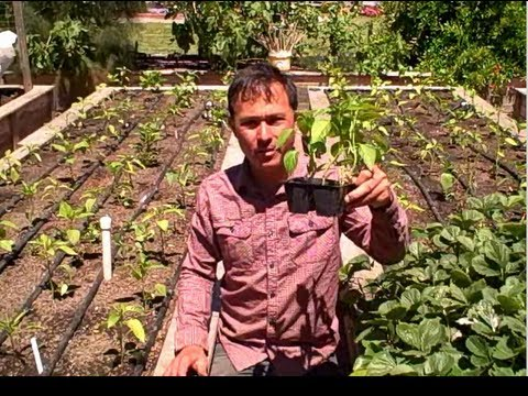 Supersize Root Growth on Tomatoes & Tomatillo By Planting the Stems Deep