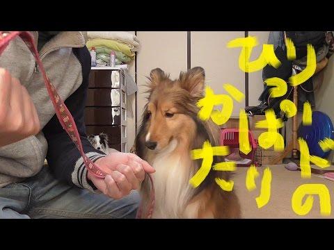 可愛いシェルティ犬のリードの正しい引っ張り方Cute Sheltie:How to pull the dogs lead correctly
