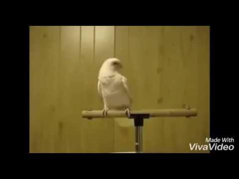 Burung Kakak Tua cover lagu Dia Milik Orang - Harry Khalifah